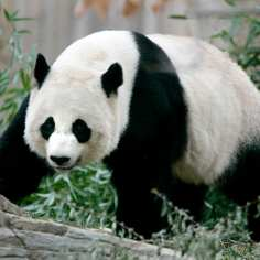 Giant panda Mei Xiang, 7, walks in her outdoor enclosure at the National Zoo in Washington in this file photo taken November 29, 2005. Mei Xiang gave birth to a cub Sunday evening according to zoo officials. REUTERS/Jason Reed/Files (UNITED STATES - Tags: ANIMALS)