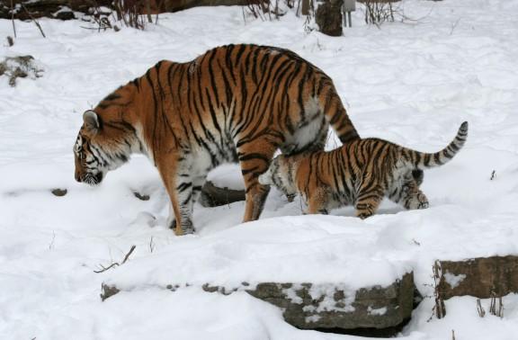 Panthera_tigris_altaica_09_-_Buffalo_Zoo.jpg