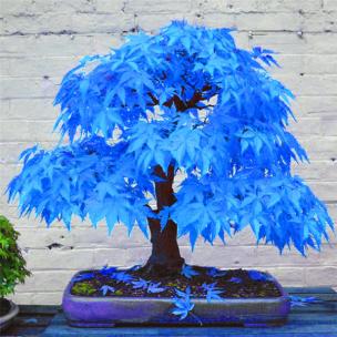 bonsai-blue-maple
