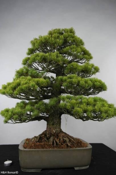 bonsai-white-pine-pinus-parviflora-no-6176